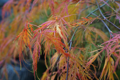 The garden in Autumn - acers at Denys & Fielding
