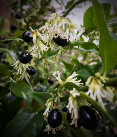 Saracocca Confusa - Sweet box - winter flowering and with berries