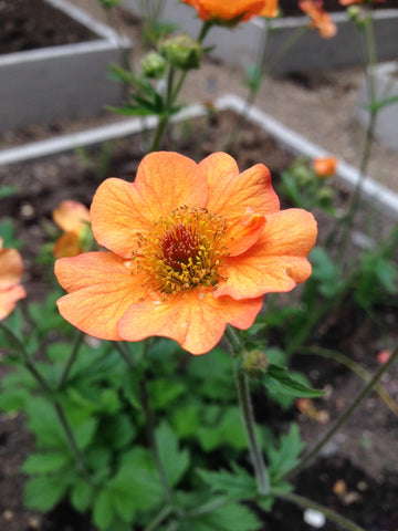 A firm favourite - Geum Totally Tangerine