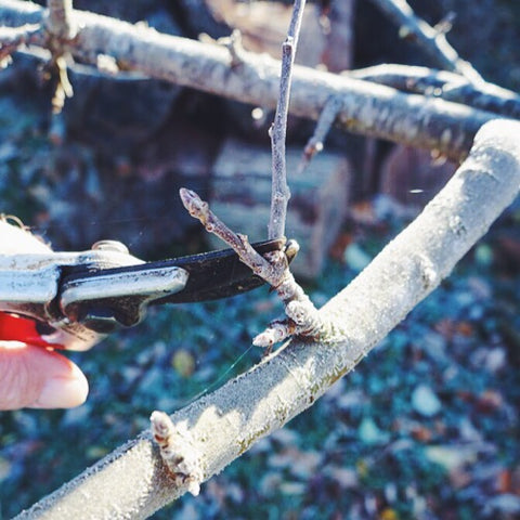 Pruning fruit trees - advice and tips from Denys & Fielding