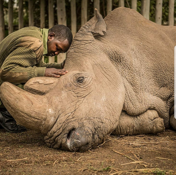 The Death Of Sudan The Northern White Rhino