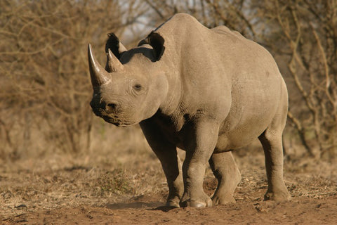 12 Amazing Facts About Rhinos For Kids and Adults