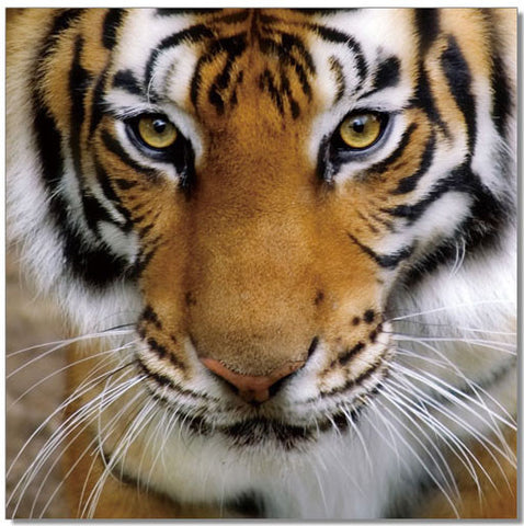 Premium Acrylic Wall Art Tiger-SB-61098 SKU18188 - Pearl Igloo