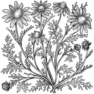 Chamomile Flowers - Organic dried