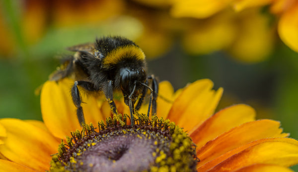Save the Bees: Colony Collapse Disorder and How You Can Help