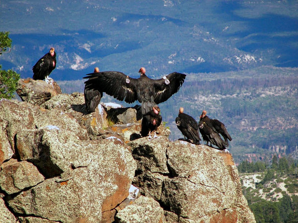 Zion's Condor Celebrity Doubles as Milestone for Conservation