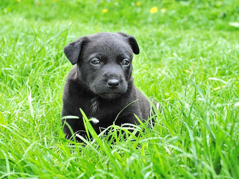 Black puppy on lawn