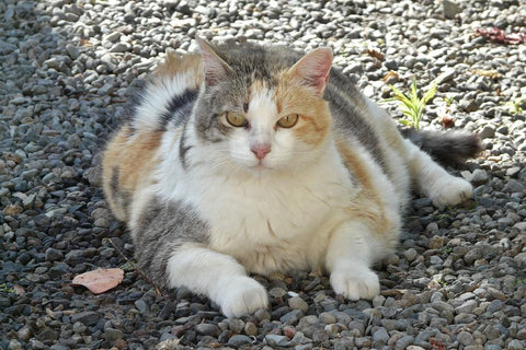 Obese cat lying on ground