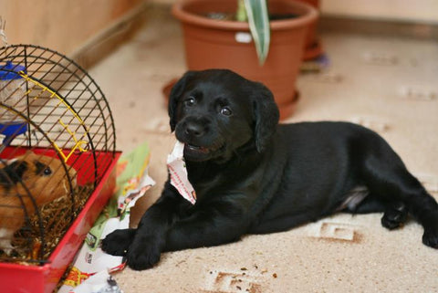 Black dog lying on floor near a cage with a guinea pig