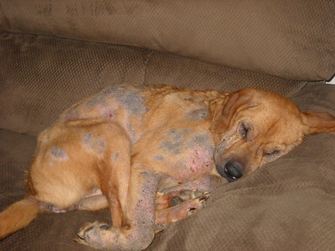 Common Skin Issues In Dogs And How To Fix Them Bonnie And Clyde Pet Goods