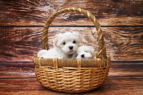 2 white puppies in wicker basket