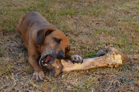 Dog gnawing bone