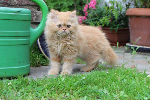 fluffy red and white kitten in yard