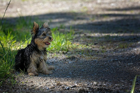 Yorkshire Terrier sitting on ground