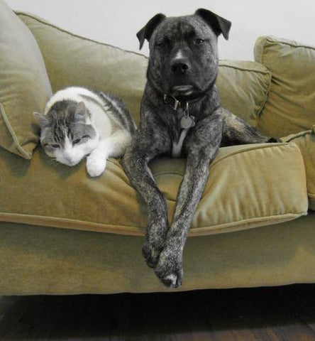 Cat and dog lying on sofa