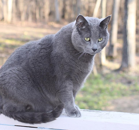 Obese grey cat sitting