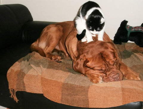 Cat massage a large brown dog