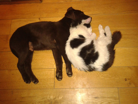 Dog and cat spooning and cuddling together