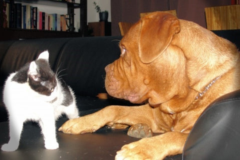 Kitten upset at a large brown dog