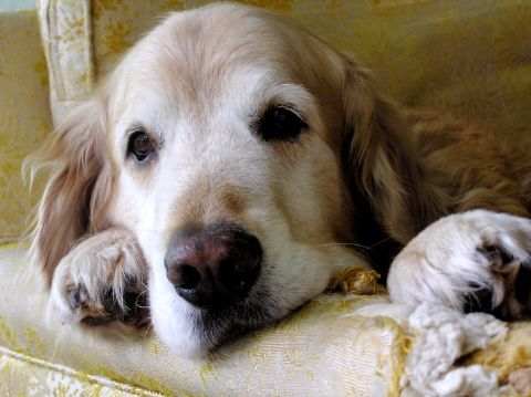 Golden retriever lounging on a couch