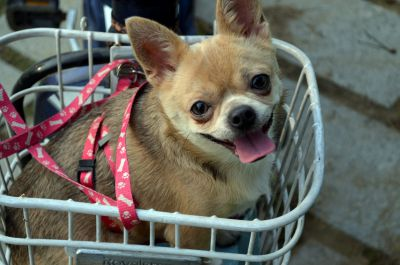 Small dog in a cart with a leash