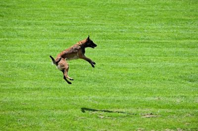 Dog jumping in an open field