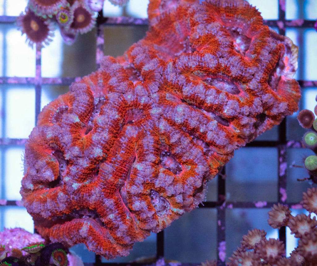 WYSIWYG  Ultra Acan Lord Colony - Red & Pink Acans