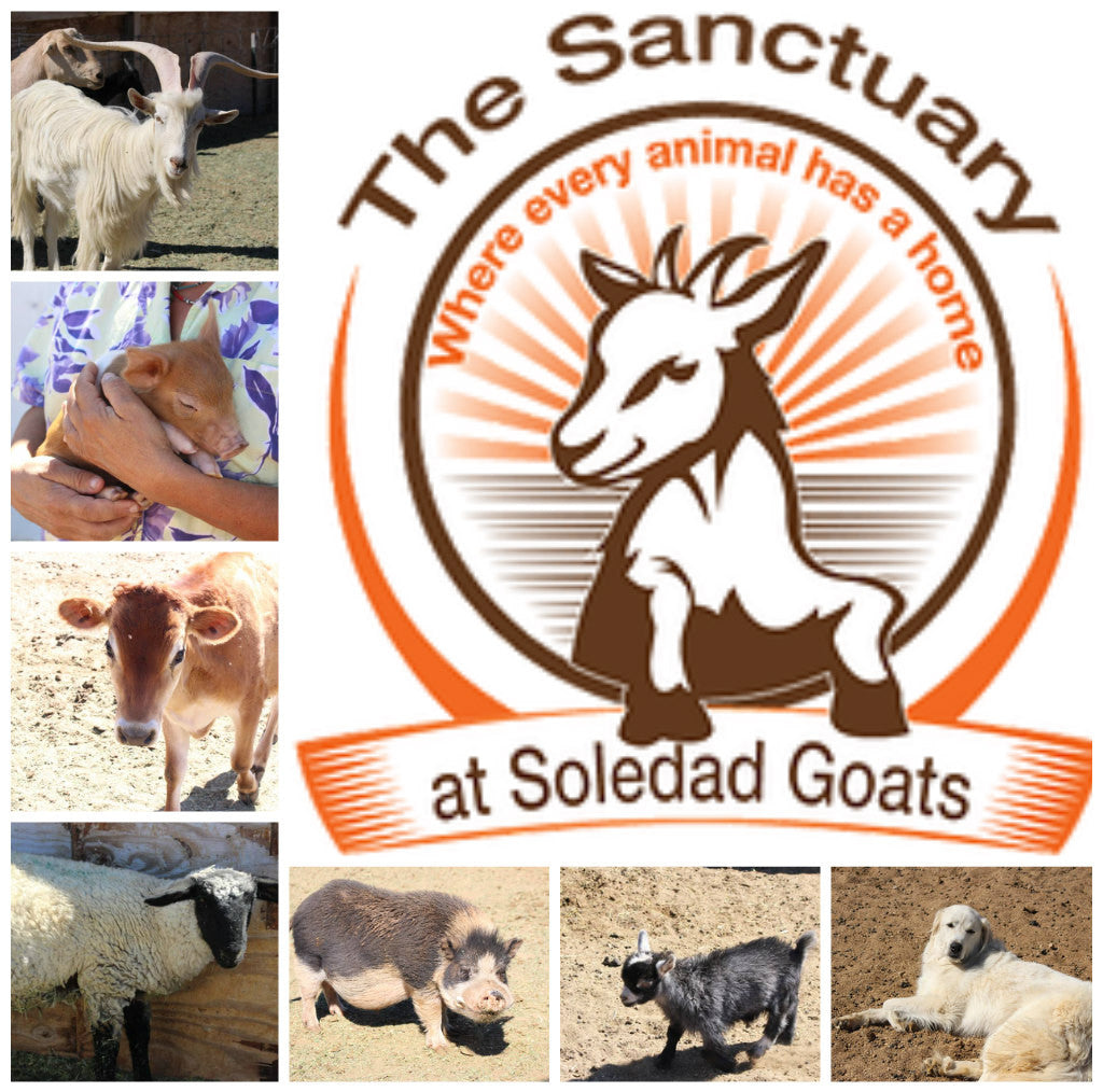 Logo of Soledad Goats Sanctuary bordered with pictures of a white goat with beatuiful horns, a woman holding a tiny baby pig, a young cow, a fluffy sheep with a black face, a large pot-bellied pig covered in mud, a small black Pygmy goat and a relaxing la