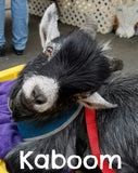 Kaboom the young black and white rescued pygmy goat.