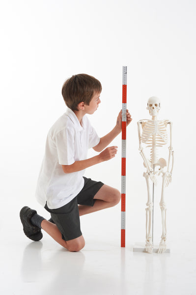 Half Scale Skeleton