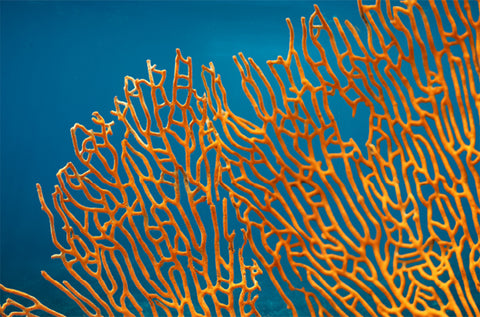Image of coral