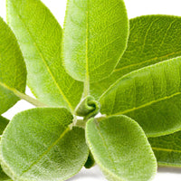 Salvia Officinalis (Sage) Leaf Extract
