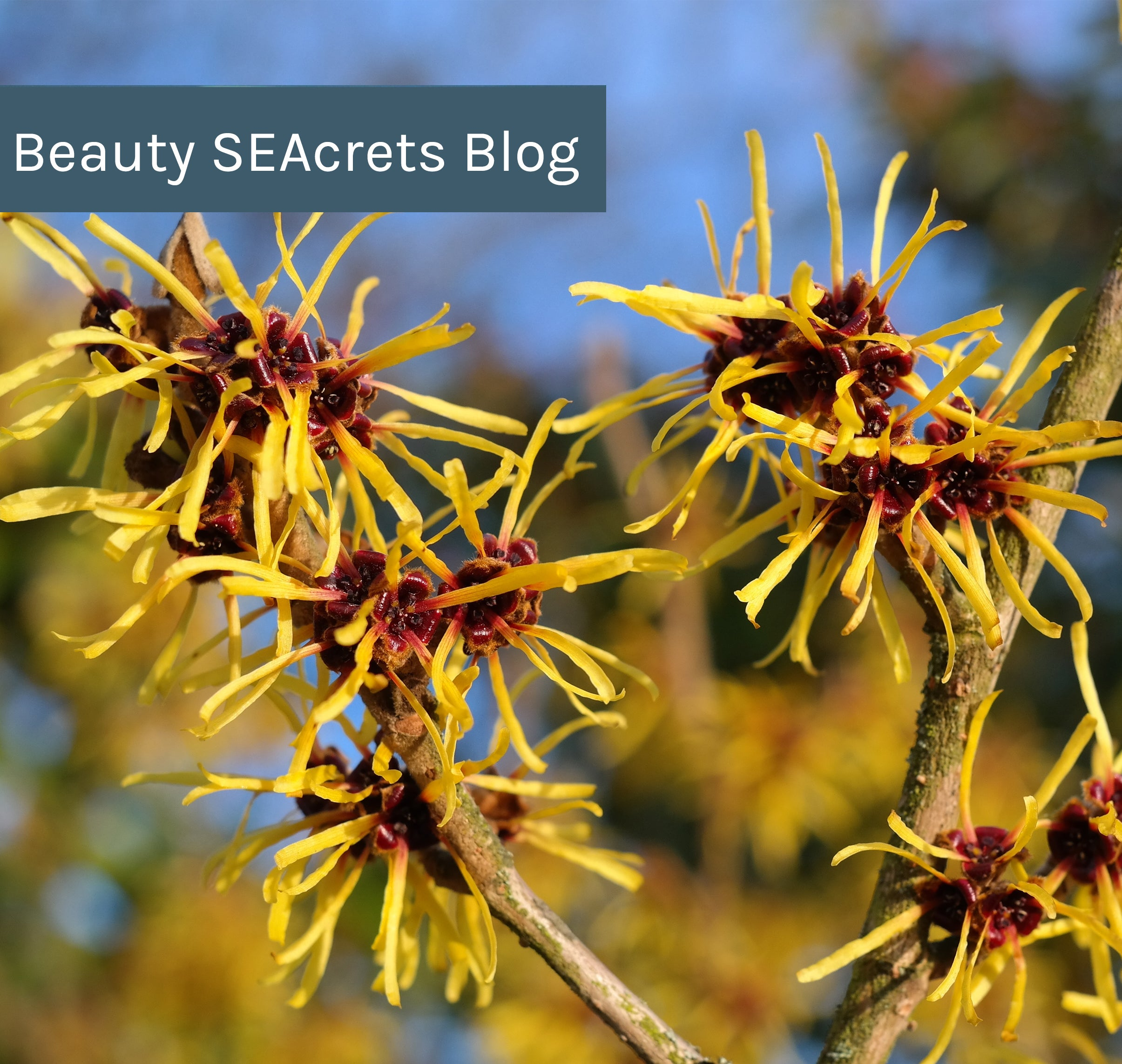 What Does Witch Hazel Do for Your Skin? – Repêchage®