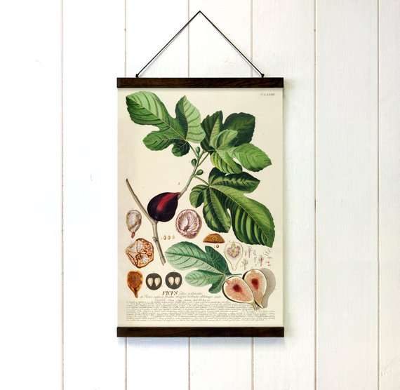Educational Botanical Fig Canvas - Art Print Club