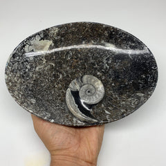 "834g, 8.75""x6.5"" Black Fossils Ammonite Orthoceras Bowl Oval Ring @Morocco,F327"