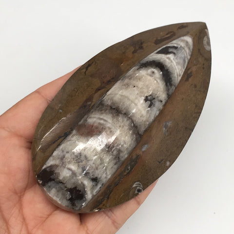 "180.1g, 4.4""x2.4""x1"" Fossils Orthoceras (straight horn) SQUID @Morocco,MF2477"