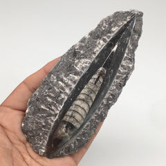 "194g,5""x2.1""x1.1"" Fossils Orthoceras (straight horn) SQUID @Morocco, MF1573"