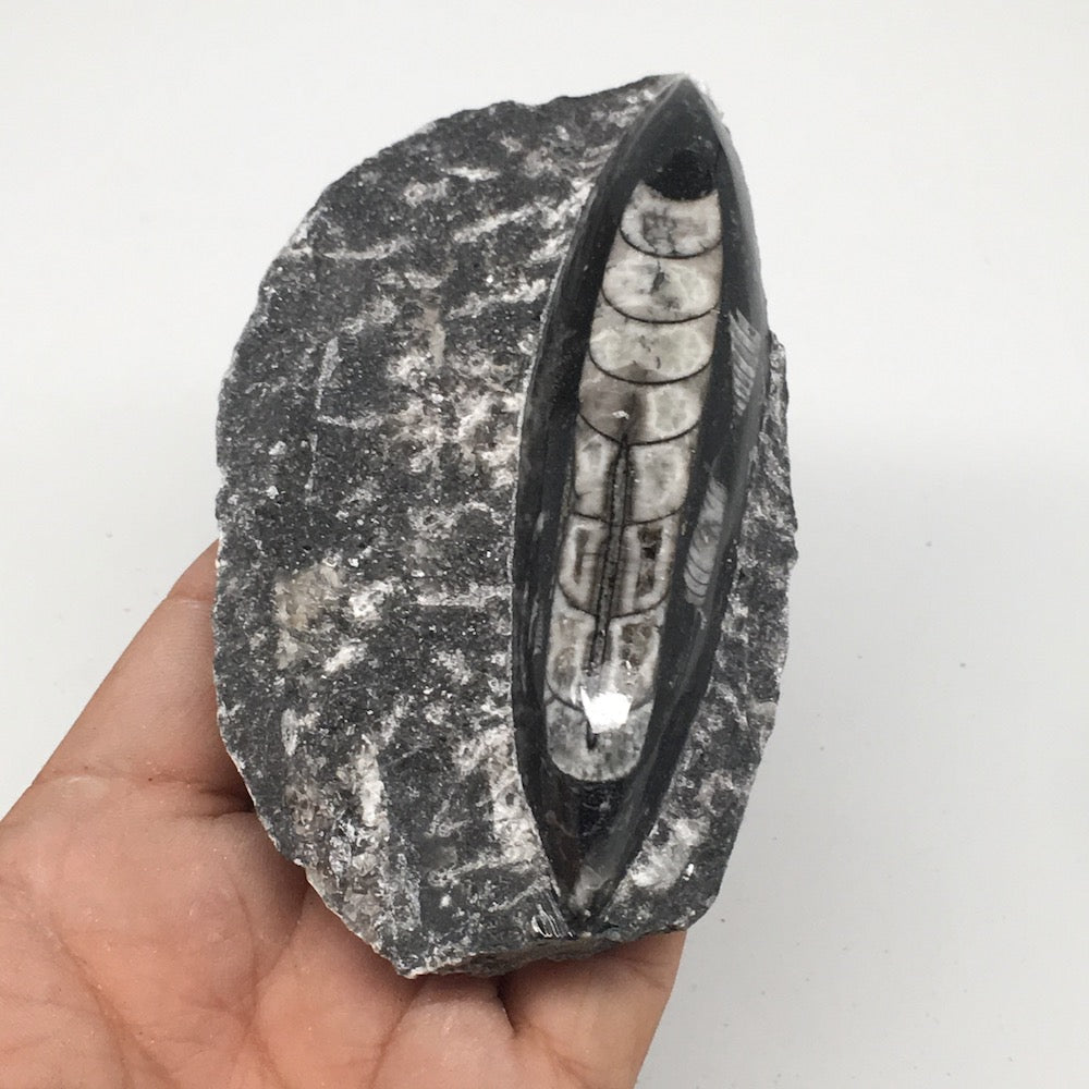 "222g,4.4""x2.6""x1.1"" Fossils Orthoceras (straight horn) SQUID @Morocco, MF1654"