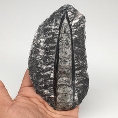 "324g,5.3""x2.9""x1.1"" Fossils Orthoceras (straight horn) SQUID @Morocco, MF1726"
