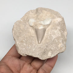 "310g,3.7""X3.4""x1.7""Otodus Fossil Shark Tooth Mounted on Matrix @Morocco,MF1850"