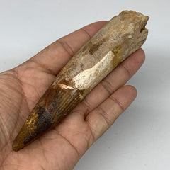 "93.6g,5.3""X 1.1""x 1"" Rare Natural Fossils Spinosaurus Tooth from Morocco,F3127"