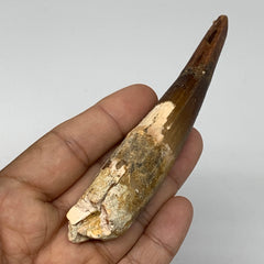 "44.7g,4.2""X 0.8""x 0.8"" Rare Natural Fossils Spinosaurus Tooth from Morocco, F313"