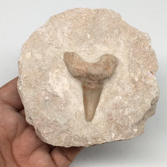 "290g,3.8""X3.6""x1.6""Otodus Fossil Shark Tooth Mounted on Matrix @Morocco,MF1879"