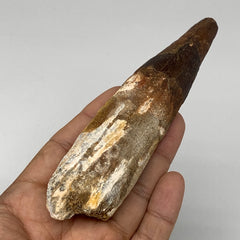 "97.9g,5""X 1.3""x 1.1"" Rare Natural Fossils Spinosaurus Tooth from Morocco, F3142"
