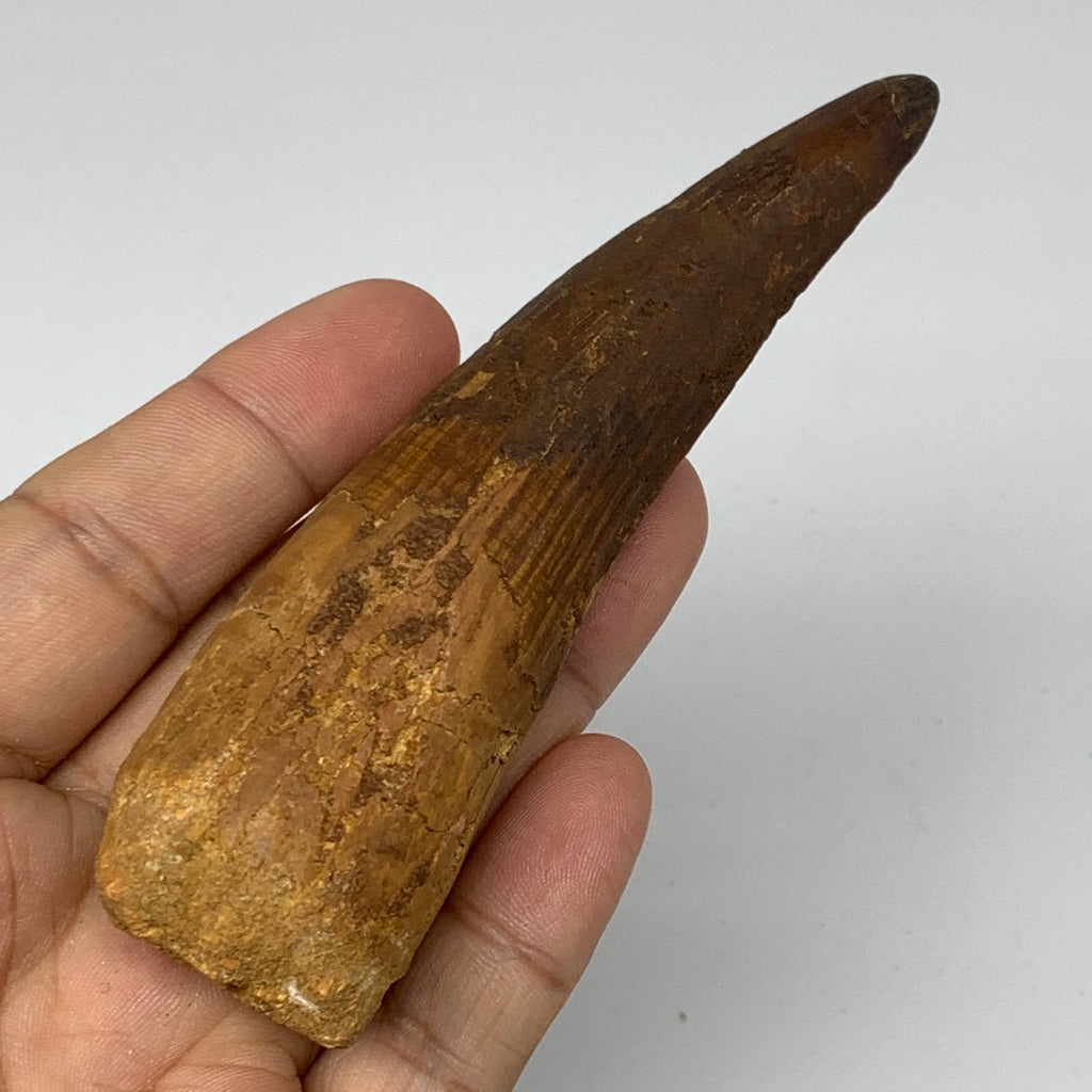 "64.2g,4.3""X1.2""x 0.9"" Rare Natural Fossils Spinosaurus Tooth from Morocco, F3146"
