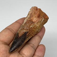 "51.3g,3.2""X1.2""x 1"" Rare Natural Fossils Spinosaurus Tooth from Morocco, F3149"