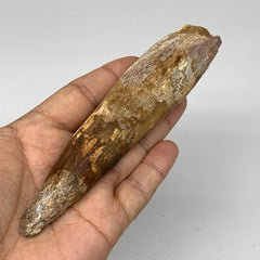 "98.5g, 5.6""X1.2""x 1"", Rare Natural Fossils Spinosaurus Tooth from Morocco, F3152"