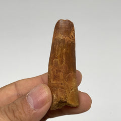 "18.2g, 2.3""X0.7""x 0.6"", Rare Natural Fossils Spinosaurus Tooth from Morocco, F31"