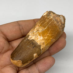 "56g, 3.2""X1.2""x 0.9"", Rare Natural Fossils Spinosaurus Tooth from Morocco, F3213"