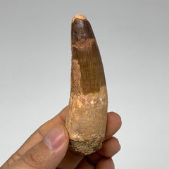 "43.1g, 3.5""X1""x 0.8"", Rare Natural Fossils Spinosaurus Tooth from Morocco, F3215"